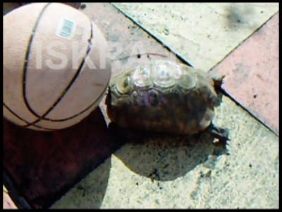 Tortoise and the basketball