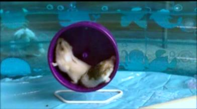 hamsters on wheel