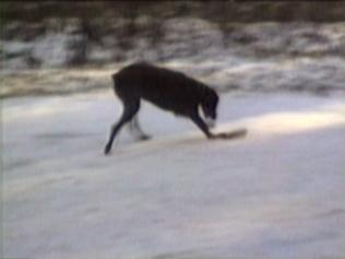 dog sliding on ice on piece of wood