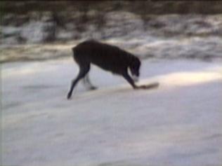 dog sliding on ice on piece of wood