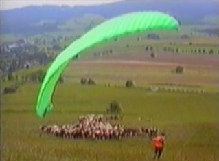 hang glider crashes into a herd of cows