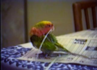 parrot adding newspaper strips to its tail