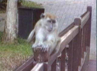 monkey revenge on teasing boy
