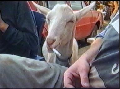 Goat gobbles up a cigarette
