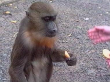 Monkey steals food and boy's cap
