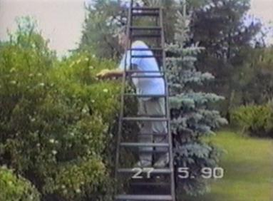 Man trimming a hedge falls down