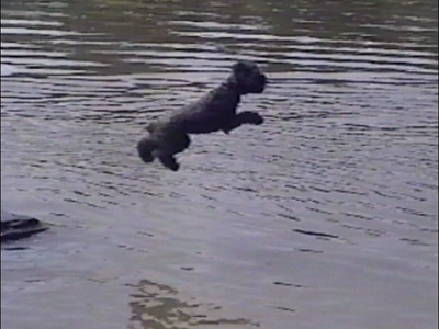 Poodle tests water before jumping in