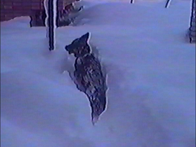 Dog climbing through deep snow