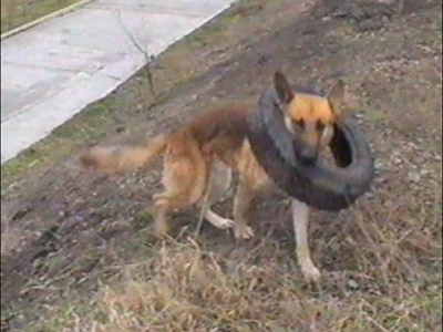 Dog plays with tyre