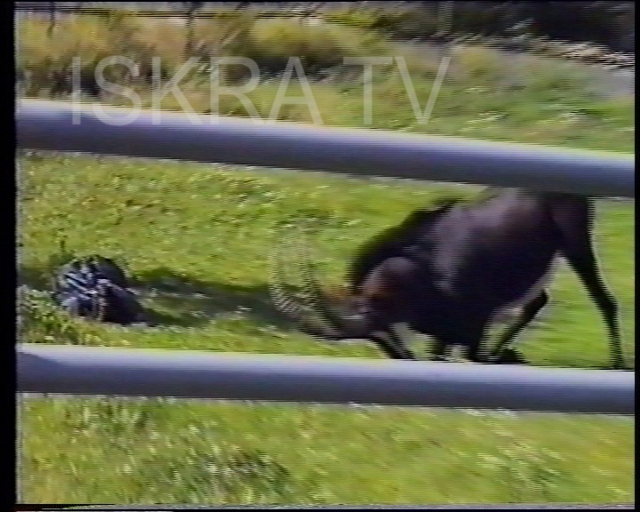 wild goat playing with rubbish bag