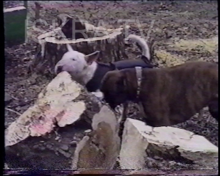 two dogs biting at felled tree chunk