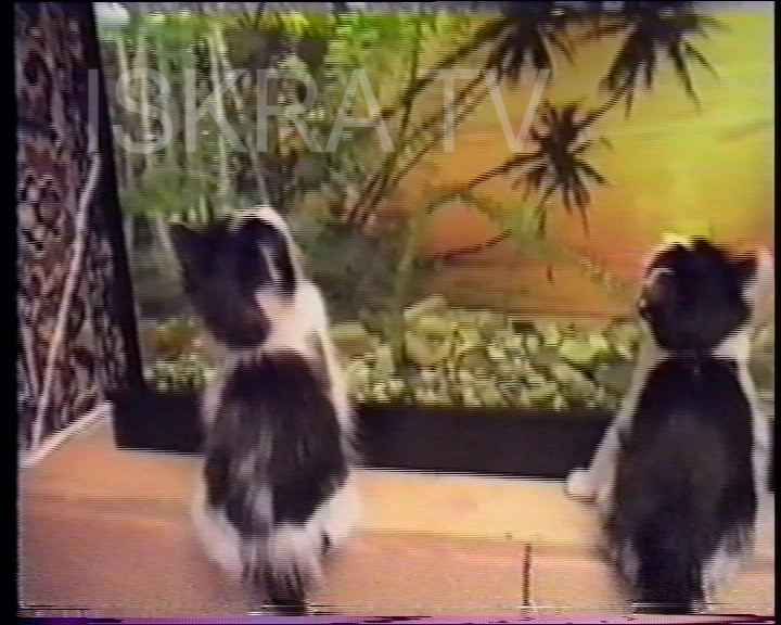 kittens watching fish in a tank
