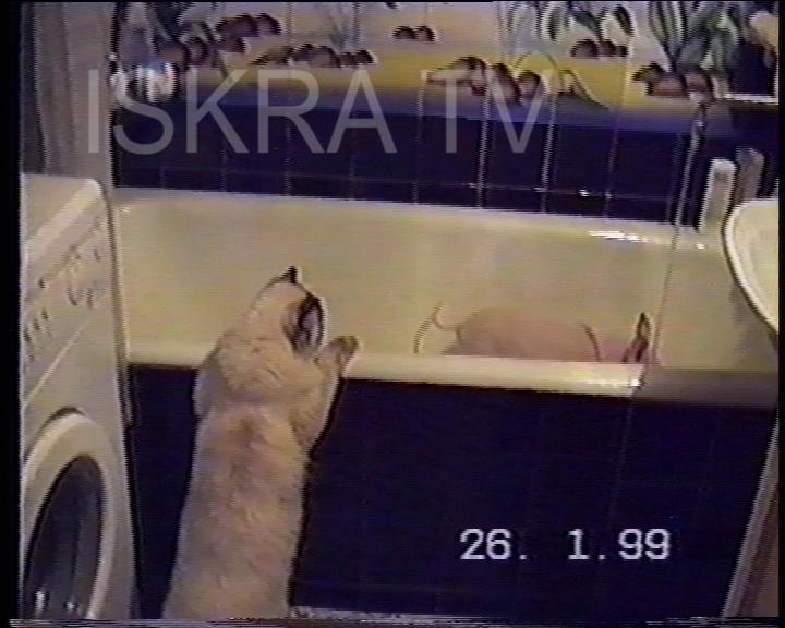 cat watching a pig having a bath