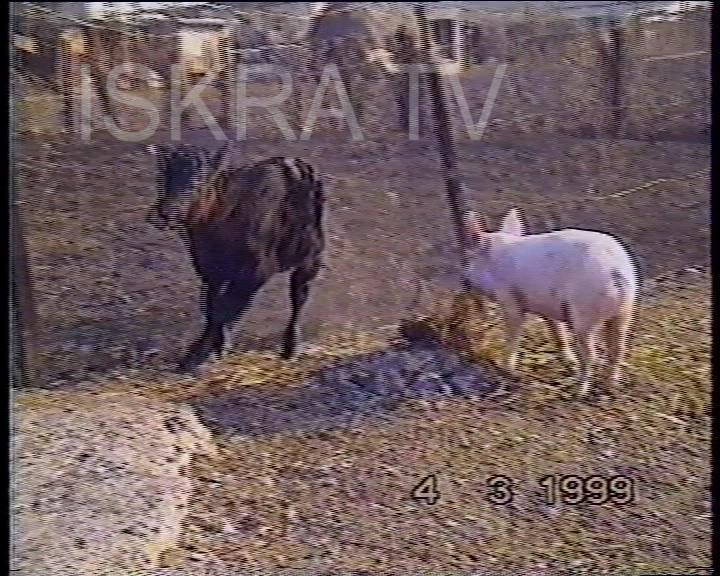 piglet versus a calf head butting contest