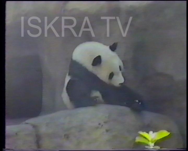 big panda bear sitting on a rock