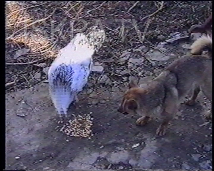 chicken and dog fight over food