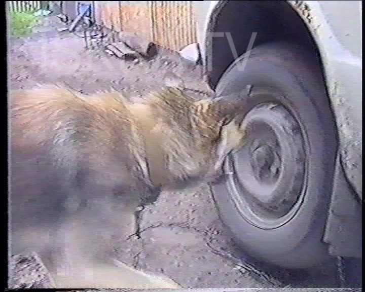 dog barks at a spinning tyre
