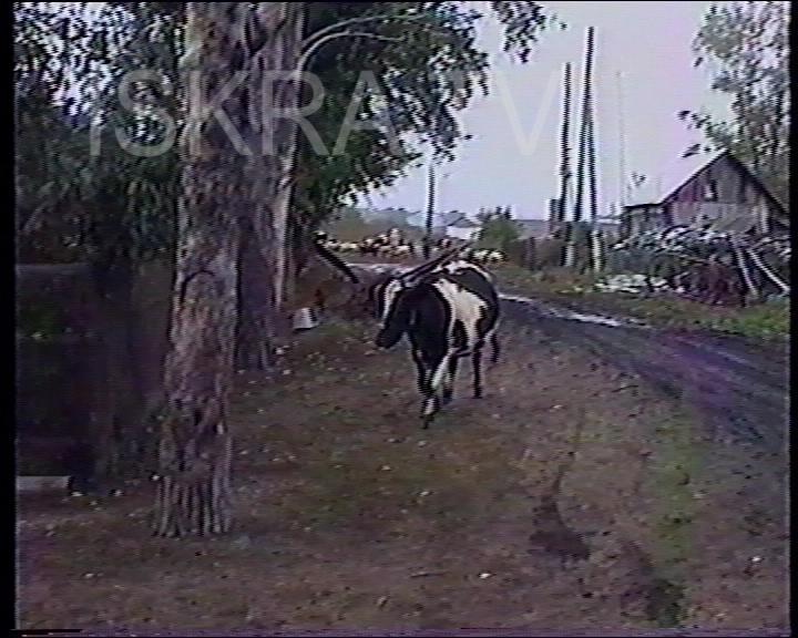 cow opens a yard door and goes inside