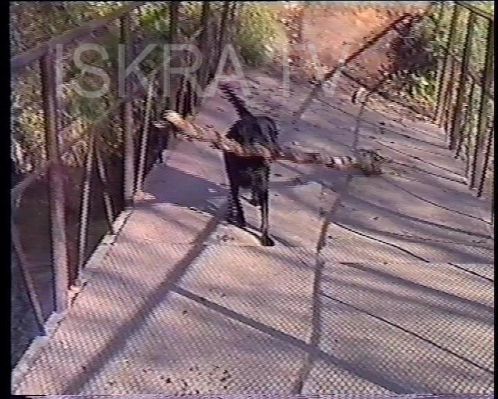 dog carries a long stick across bridge