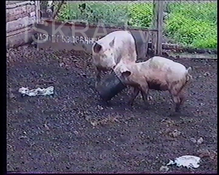 two pigs fighting over bucket of food