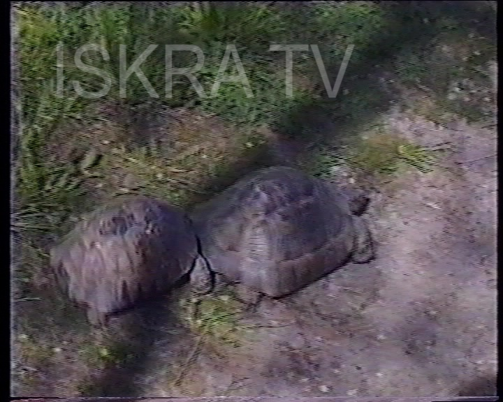 Small tortoise butting a large one