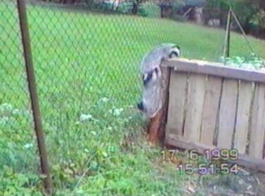 Badgers sett on escape