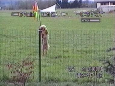 Poodle jumps high fence