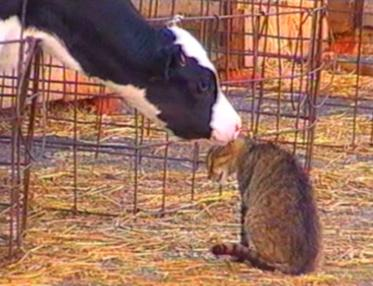 Calf licking a cat