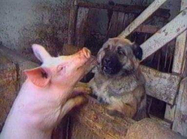 Dog and piglet having a love-in !