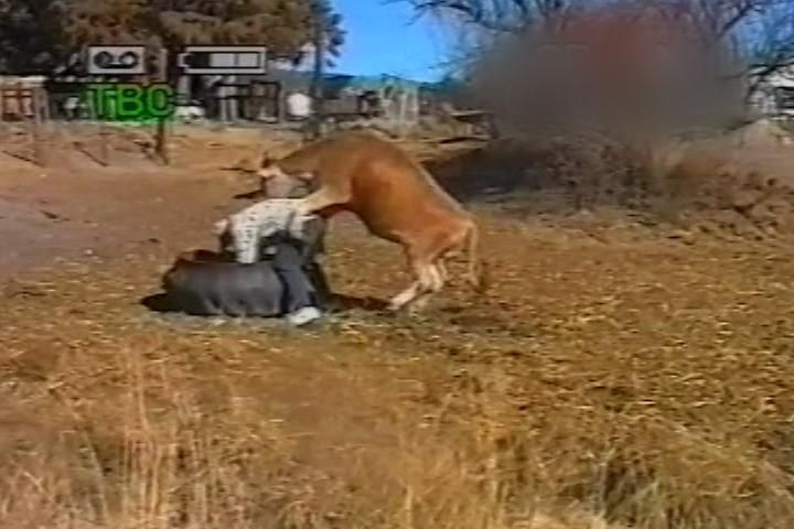 Bull mounts man over tyre