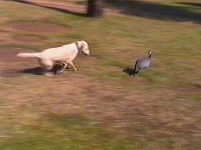 Bird chases dog