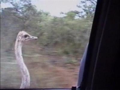 Ostrich follows car