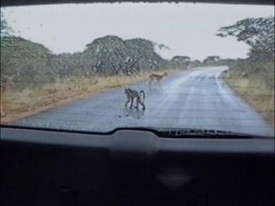 A monkey back flips off a car