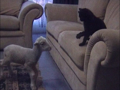 Lamb plays with cat