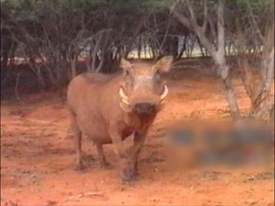 Warthog bites cameraman
