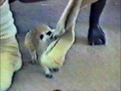 Meerkat plays with mans socks