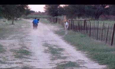 springbok hops after a motorcycle