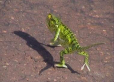 gecko dancing