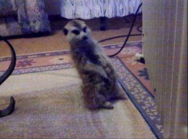 meerkat falling asleep