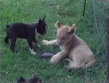 dog and lion cub playing
