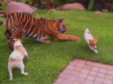 dogs play with tiger