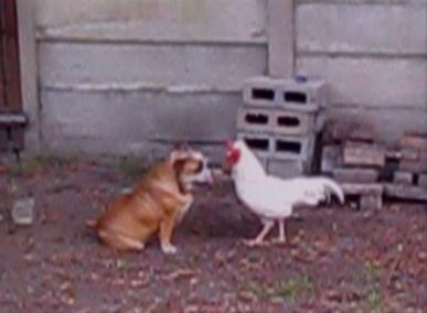 dog and hen fighting