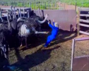 boy kicked by ostrich – serves him right