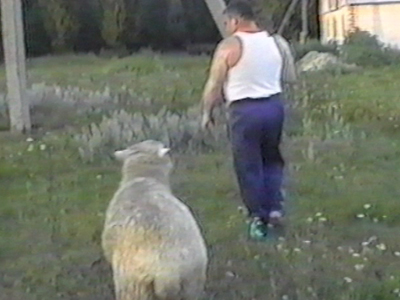 Sheep knocks man over twice
