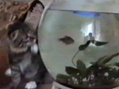 Cat falls off table while watching fish