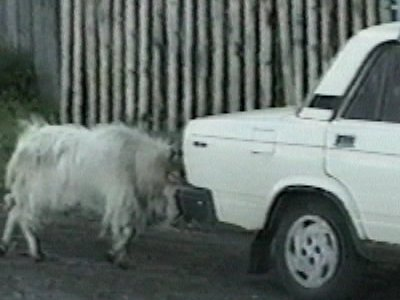 Goat tries to push car